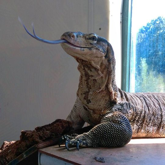 444 best lizards things images on pinterest lizards reptiles and amp. Black Bedroom Furniture Sets. Home Design Ideas