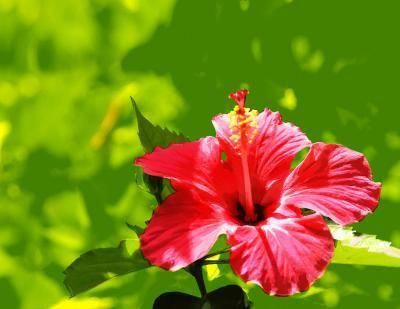 Hibiscus Flower Benefits In Hindi Hibiscus Hibiscus In 2019