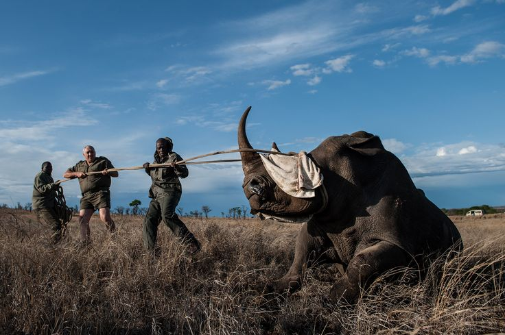 Numbers remain staggeringly high, but for the first time since 2007, the number of rhinos poached has not grown.
