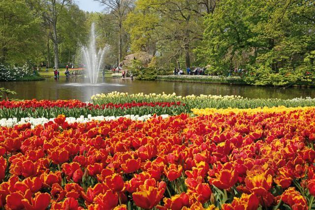 Sette milioni di bulbi piantati a mano. È    l'incredibile primato del Keukenhof Gardens, uno dei parchi floreali più belli al mondo, a 40 minuti da Amsterdam. Una bellezza in fiore che si può godere fino al 17 maggio con aiuole dalle mille sfumature, laghetti e mulini a vento.