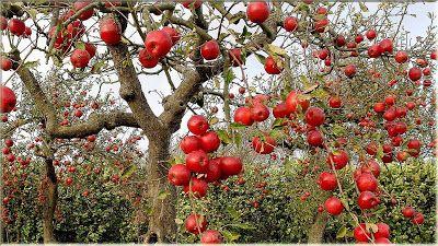 wallpaper buah apel merah