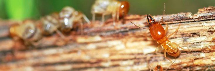 (DO IT YOURSELF) Drywood Termite Treatments - http://www.pestremovalguide.com/diy-treatments/