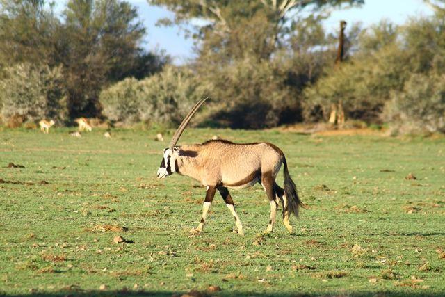 Gemsbok crossing the plains.