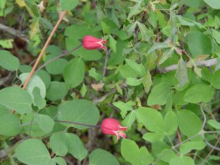 Common names: Scarlet clematis, Scarlet leatherflower, Texas clematis (latin: clematis texensis) 9ft vine, full sun, blooms till first frost, very drought tolerant, native to Tx Edwards Plateau.