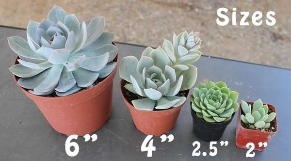 These stunning succulents are more mature than our all out other succulent collections and are perfect for table centerpieces or planting. Assorted Succulents