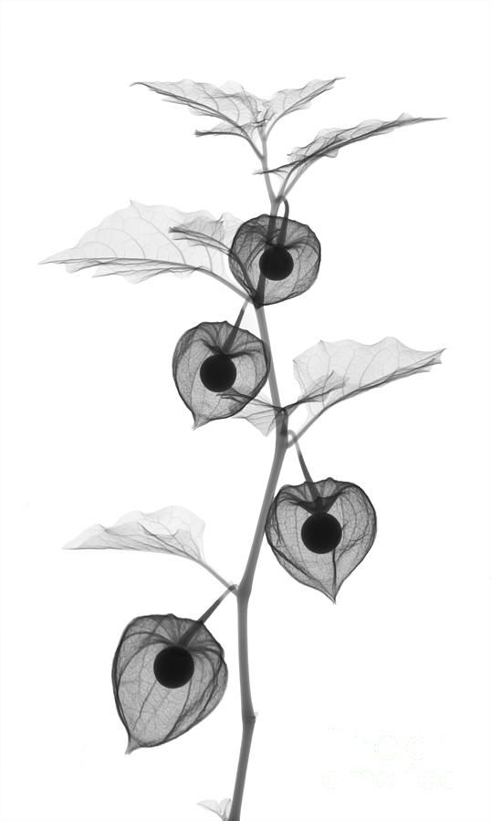 X-ray of Chinese Lantern plant - Photograph | Ted Kinsman