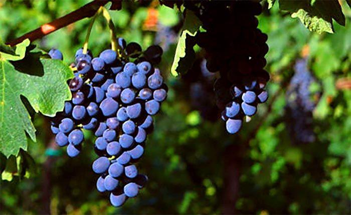 Antes de falar dessa uva, um esclarecimento: Corvinone ou Corvina? São iguais ou diferentes? Corvinone e Corvina foram, por muito tempo, confundidas. Corvinone era tida como um clone da Corvina. Mas desde os anos 1980 ampelógrafos se dedicaram a entendar entender esse assunto, e um estudo do DNA das uvas, realizado em 2002, acabou por comprovar serem variedades distintas. É como se fossem parentes, mas não irmãs gêmeas.