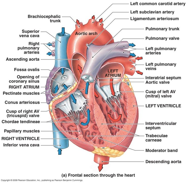 Heart Diagram: Right/left Atria, Right/left Ventricles, Pulmonary Trunk, Aorta, Superior/inferior Vena Cavae, Pulmonary Veins, Coronary Sinus, Right/left Atrioventricular valves (tricuspid + bicuspid), Chordae Tendinae, Interatrial Septum, Interventricular Septum, Aortic and Pulmonary Semilunar Valves, Coronary Arteries and Cardiac Veins