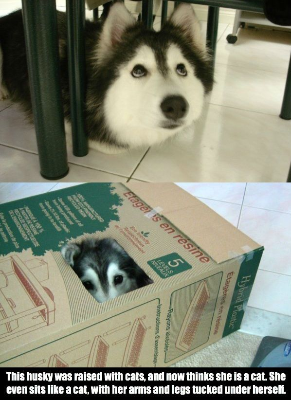 raised with cats, this husky thinks he is one
