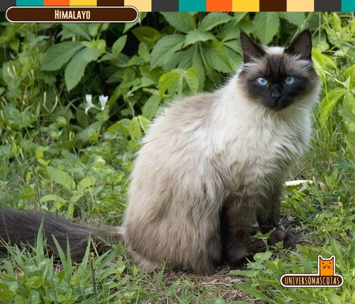 Origen: Gran Bretaña Longevidad: de 10 a 15 años. Conoce más de este dócil y amistoso amigo en: http://www.universomascotas.co/razas/gatos/himalayo/44