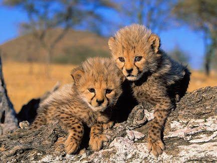 Çita yavruları
