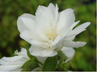 Jasmin Waterton  Philadelphus lewisii Waterton ist ein locker aufrecht wachsender Strauch mit einer Endhöhe von 1,5 bis 2 m. Wuchsbreite 1-1,5m