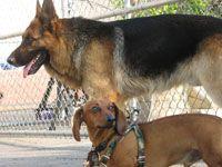 A Territorial Dachshund and German Shepherd | Dog Whisperer Cesar Millan