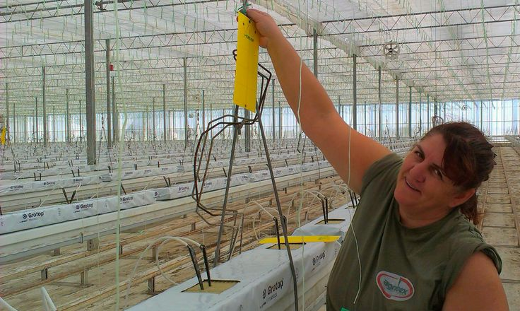 More than all the other skills scouting demands passion, excitement, love for nature. Hereby Nina, an expert tomato pests & diseases scouter.