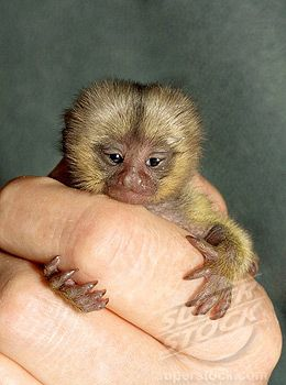 The Definitive Collection Of Finger Monkeys