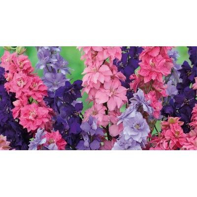 Riddarsporre, Romersk 'Giant Imperial'- Consolida ajacis #blommor #frö