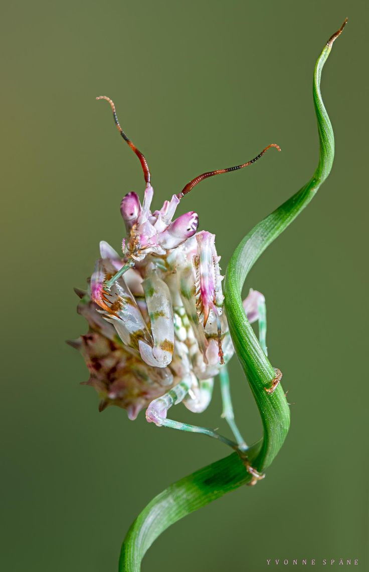 258 best praying mantis images on pinterest praying mantis spiny flower mantis by yvonne spne larva of the spiny flower mantis pseudocreobotra wahlbergii dhlflorist Image collections