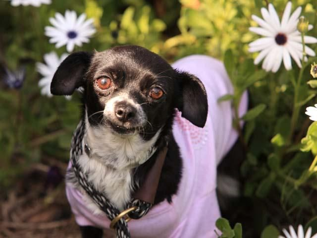 POPPY~! <3 Chihuahua Mix • Adult • Female • Small. Adoptables at spcaLA Long Beach, CA. Id love to come home w/ you! I am sweet older gal who'd love a home that is mellow, like me. I'm also in the TLC program where I'm being trained to do fun tricks by kids!  Pet ID: 14-01848 • Shots Current.