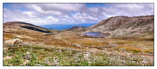 Wildflowers on Mount Kosciuszko