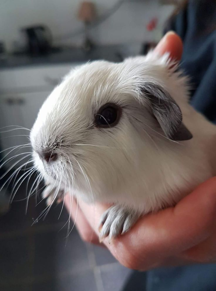 Guinea pig (short-hair)