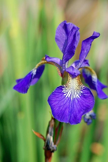 Bearded Iris.