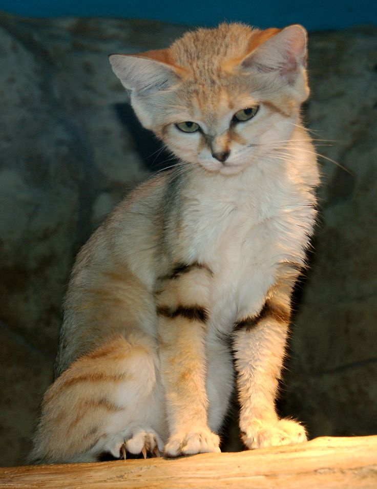 Rare Cat ~ The Sand cat is a small wild cat that lives in the deserts of Africa and Asia