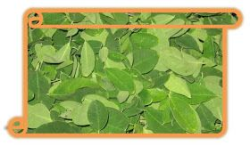 THE HEALTH BENEFITS OF AGATHI, MURUNGAI,MUKKRATTAI, LANGUAGE NAMES : Drumstick leaves / Murungai keerai