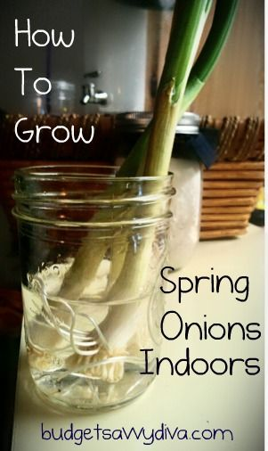 What To Do    Use the Spring Onions in a recipe like you would normally  ( leave about 2 inches of stem) do BUT do not throw away the blubs.    Throw these bad boys in a small jar with water covering up the roots and that is it!    The onion will keep on growing back – simply clip what you need. Leave the onions where it will get some natural light.