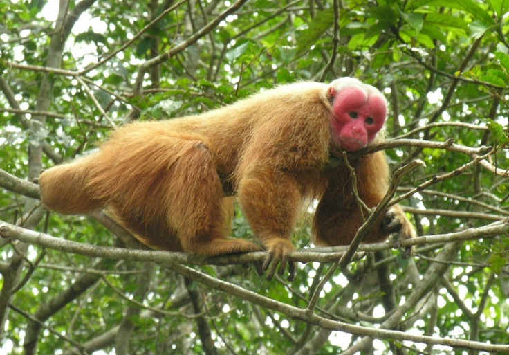 Particularly sinister looking, their name is not of the same ilk – meaning  'Dutchmen' in the local language, this is said to be because their bright red faces reminded the locals of the sunburnt faces of European tourists.    Similar to Saki monkeys in the the food that they eat, they differ in how they move, as Uakaris can leap up to an astonishing 20 feet.