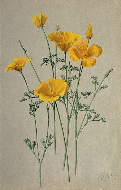 "San Diego California Poppy- Eschscholzia californica"" 1908-1918 by A. R. Valentien"