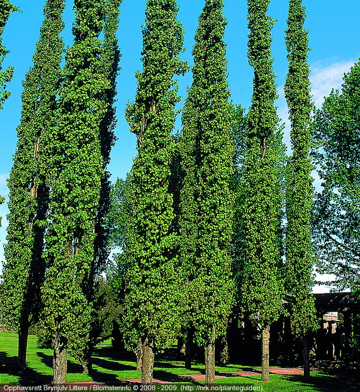 Narrow tree for tight spaces swedish aspen populus for Slender trees for small spaces