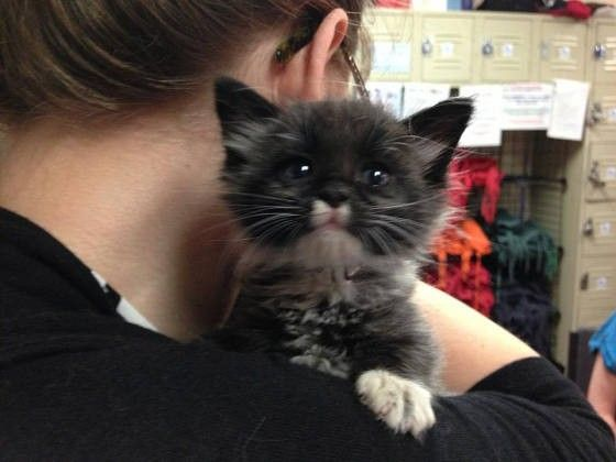 """Meet Ashton the tiny fuzzball who owes his life to the kind people that saved him from under a car.  """"His name is Ashton and he was reportedly found under a car here in SanFranciscocovered in oil!Animal Care & Control San FranciscoandTonis Kitty Rescuetook him in, cleaned him up, and now he's ..."""