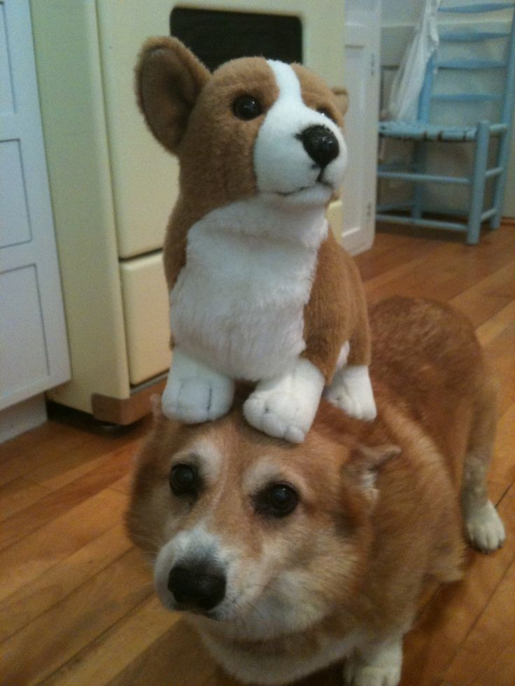 Things on Hazel's head.: Hazel balancing a Corgi | Loki ...