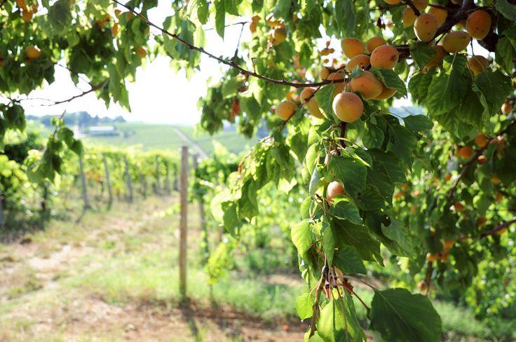 Apricots & Vineyards, Piemonte