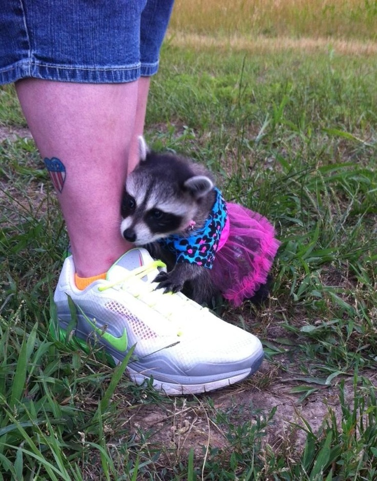 Baby raccoon dressed up Cute Animals! Pinterest Baby