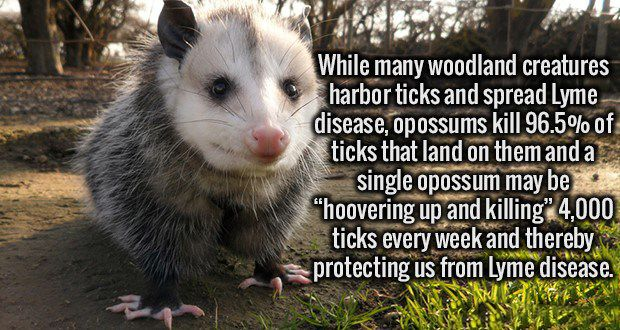 Did You Know That Possums Eat Almost All The Ticks In Your Yard? | And they are resistant to rabies!