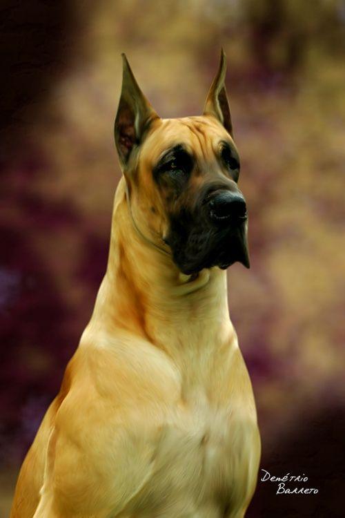Dinamarquês (Dog Alemão)                                                                                                                                                                                 Mais