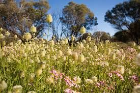 Image result for Kalgoorlie Goldfields flora and wildflowers