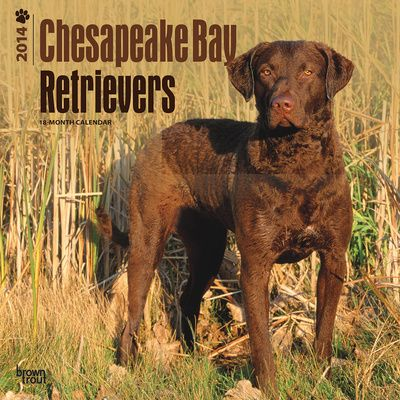 chesapeake bay retriever hunting | Chesapeake Bay Retriever - Pictures, posters, news and videos on your ...