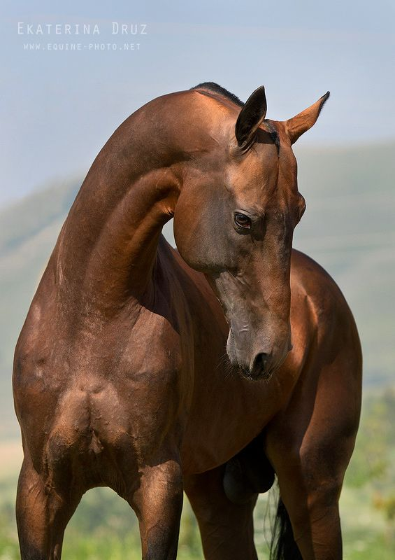 Akhal-teke Stallion - named Gench ~ KatyaD ||   The coat's sheen gives its musculature a sculptural look.