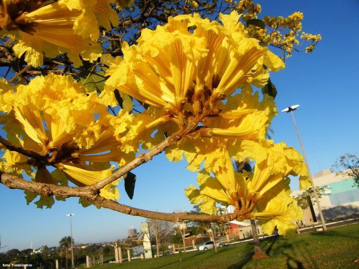 Ipê Amarelo - Árvore Símbolo do Brasil Ipê amarelo - Tabebuia chrysotricha Nome científico: Tabebuia chrysotricha Nomes populares: ipê-amarelo, ipê-tabaco Origem: Brasil Família: Bignoniáceas Luminosidade: sol pleno Porte: Pode chegar a 8 metros de altura Clima: quente e úmido
