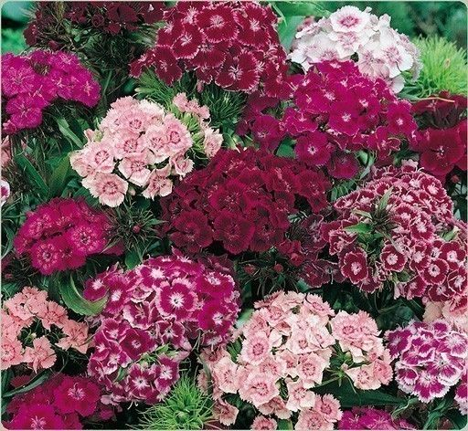 Old Fashioned Heirloom Sweet William Flower seeds This seed came from my mother's gardens. I have borrowed the photo, but my mother's flowers have a combination of pinks, purples, and whites in the blooms.   Requirements: Likes Full sun to partial shade. Winter hardy to USDA Zones 3-9.