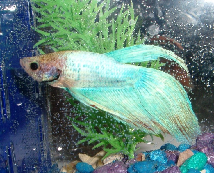 17 best images about fish disease on pinterest medicine for Betta fish fungal infection