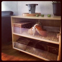 guinea pig cage: (I'd make it an IKEA hack w/2 6'L bookcases sideways on top w/shelves underneath for food & supplies.)