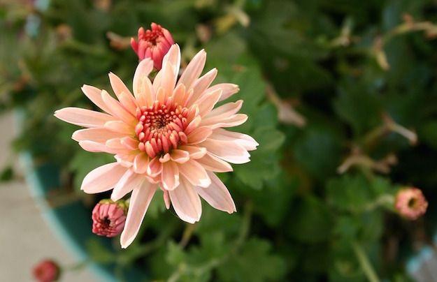 Coltivare crisantemi, la guida completa - Idee Green