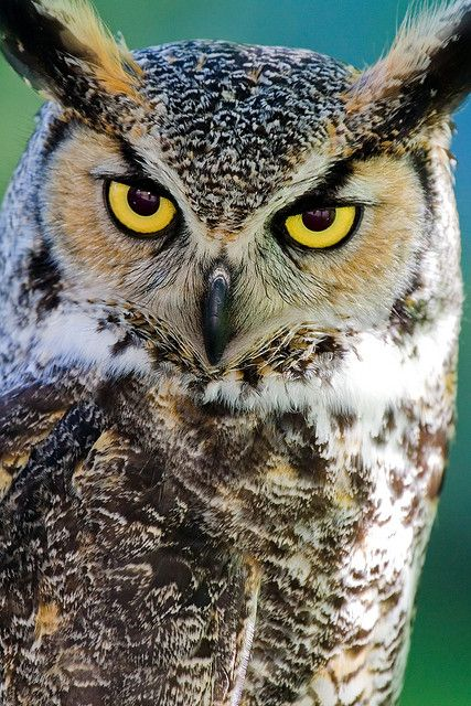 """The Great Horned Owl - I will always think of my favorite children's book, """"Poppy"""", when I see one!"""
