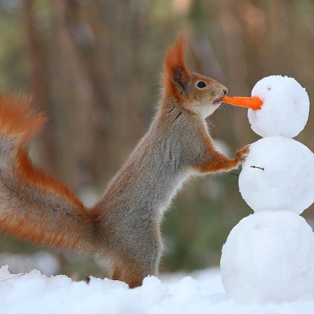 Amazing! How  they know how to do it, I have no idea!There is another picture of the same squirell placing the head on the snowman ...