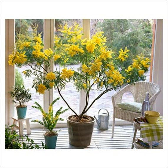Acacia Dealbata Evergreen Tree Or Shrub 20 100 1000 Seeds Fragrant Silver Wattle Mimosa Plants Types Of Evergreen Trees Mimosa Plant Flowering Trees