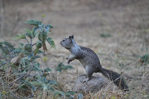Potwisha campground local fauna: chipmunk 2