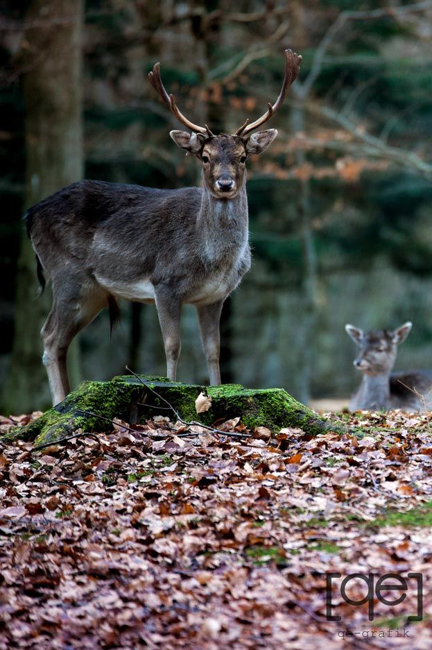 Caught the attention of a stag, Walk in a Danish forrest - Photograph by Qe-grafik